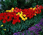 Tulpenbeet mit Darwin-Hybrid TULPEN