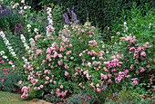 SUMMER BORDER with Rosa'THE FAIRY',CAMPANULA LATILOBA'Alba' Dianthus,Salvia,PENSTEMON & VERONICA. MEADOW PLANTS,BERKS.