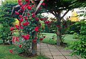 Rose 'Paul's Scarlet' an Pergola