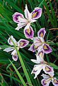 Iris douglasiana - Pacific Coast Hybride