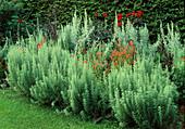 Artemisia pontica (Römischer Wermut), Dahlia 'Bishop of Llandaff', Alonsoa meridinalis