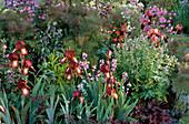Iris germanica 'Kent Pride' vorne , 'Wine & Roses' hinten (Schwertlilien), Fenchel (Foeniculum), Geranium (Storchschnabel), Lunaria annua (Einjähriges Silberblatt), Aquilegia (Akelei)