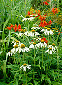 PRAIRIE PLANTING at Lady Farm: Echinacea PURPUREA 'White SWAN' AND CROCOSMIA MASONIORUM