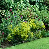 Allium sphaerocephalon, Euphorbia nicaeensis