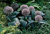 Allium karataviense (Zierlauch)