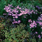 Aster amellus 'Pink Zenith' (Aster)