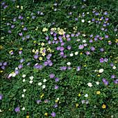 Anemone blanda (Buschwindröschen)