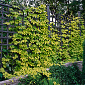 Humulus lupulus (Hopfen) an Holzspalier