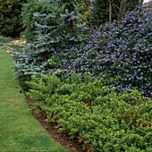 Koniferengarten mit Ceanothus thyrsiflorus repens (Säckelblume), Juniperus conferta (Strand-Wacholder) und Picea pungens (Blau-Fichte)