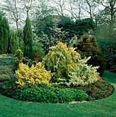 Beet mit verschiedenen Koniferen und Euonymus fortunei 'Emerald'n Gold' 'Emerald Gaiety' (Kriechspindel)