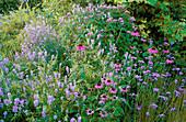 Verbena BONARIENSIS, Echinacea PURPUREA AND GALEGA OFFICINALIS IN THE KITCHEN GARDEN. ARROW Cottage, Herefordshire