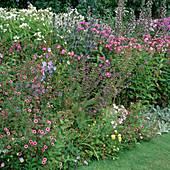 Potentilla nepalensis 'Miss Willmott' (Fingerkraut), Eryngium (Distel, Edeldistel), Phlox paniculata (Flammenblumen), Acanthus (Bärenklau) , Campanula (Glockenblumen), Salvia (Salbei)