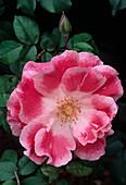 Rosa floribunda 'Sue Lawley' (Floribundarose)