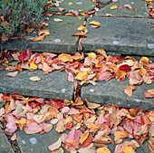 Detail of Fallen AUTUMN LEAVES of PERSIAN IRONWOOD TREE, PARROTIA Persica On STONE STEPS