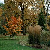 Parrotia persica, Calamagrostis x acutiflora stricta