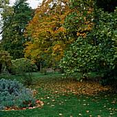 Holzbank unter Acer cappadocicum 'Rubrum' mit Herbstlaub