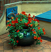 Blue CERAMIC Pot PLANTED with Tropaeolum 'MAJUS'. Behind IS A Blue CERAMIC FISH SCULPTURE by Lucy SMITH. THE NICHOLS Garden, READING