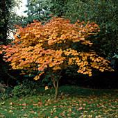 Acer japonicum 'Vitifolium' (Japanischer Ahorn)