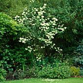 Philadelphus virginal (Pfeiffenstrauch , Bauernjasmin, Falscher Jasmin), Beet mit Geranium endressi 'Wargrave pink'(Storchschnabel)