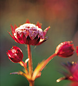 Detail of THE FLOWER HEADS of ASTRANTIA 'HADSPEN BLOOD'. EASTGROVE Cottage, WORCS / New SHOOTS P137 .