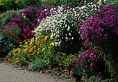 Purple AND White ASTERS, RUDBECKIA, SOLIDAGO AND PENSTEMON IN A LATE SUMMER BORDER. WATERPERRY GARDENS. OXFORDSHIRE.