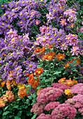 Aster amellus 'King George' (Bergaster), Anemone japonica 'Prinz Heinrich' (Herbstanemone), Sedum 'September Glow' (Fetthenne), Chrysanthemum indicum (Herbstchrysantheme) 13374.8, 13373.6, 13373,11