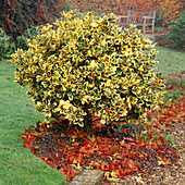 ILEX X ALTACLERENSIS 'Golden KING' (Golden KING HOLLY). COATES MANOR Garden, Sussex
