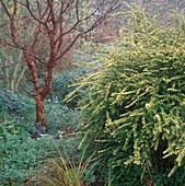Acer griseum (Ahorn), Lonicera nitida 'Baggensen's Gold' (Heckenkirsche)