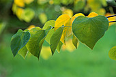 Golden HEART-SHAPED LEAVES of CERCIS CANADENSIS 'RUBY ATKINSON'