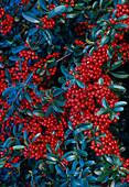 Pyracantha 'Darts Red'
