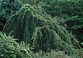Cedrus atlantica 'Pendula' (Hängende Blauzeder)
