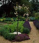 Stämmchen-Rose mit Ysop, Thymian, Ampfer, Lavandula 'Hidcote'