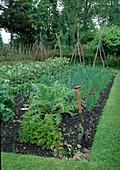 Gemüsegarten : Zwiebeln (Allium cepa), Puffbohnen, Saubohnen (Vicia faba), Salat (Lactuca), Petersilie (Petroselinum), Cardy (Cynara cardunculus), Spaten steckt in der Erde