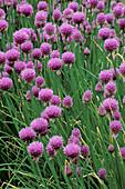 FLOWERING CHIVES (ALLIUM SCHOENOPRASUM) CERNEY HOUSE Garden, Gloucestershire