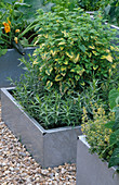 GALVANIZED STEEL CONTAINERS PLANTED with FLOWERING COURGETTE, MELISSA OFFICINALIS AUREA AND French ARTEMISIA. THE Chef'S ROOF Garden, CHELSEA 1999.