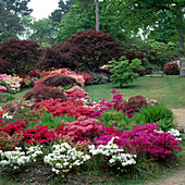 AZALEAS AND JAPANESE MAPLES IN THE WOODLAND Garden at EXBURY IN Hampshire