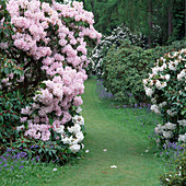 Rhododendron 'Pink Diamond'