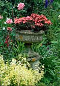 Steinurne mit Pelargonium 'Red Gables'