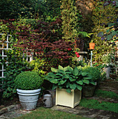 SMALL Town Garden: Box BALLS AND HOSTA SIEBOLDIANA IN CONTAINERS with Acer PALMATUM BLOODGOOD AND Dicksonia ANTARCTICA BEHIND. Designer: Jonathan BAILLIE