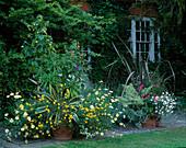 Topf mit Abutilon 'Canary Bird' (Schönmalve), Verbena 'Loveliness', Argyranthemum, Bidens, Agave, Phormium