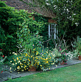 Topf mit Abutilon 'Canary Bird' (Schönmalve), Agave, Bidens, Argyranthemum 'Jamaica Primrose'