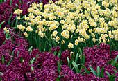 Hyacinthus 'Purple Sensation'(Hyazinthen) , Narcissus tazetta 'Minnow' (Narzissen)