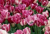 Tulipa 'Modern STYLE' (TULPEN)
