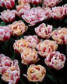 Tulip 'WIROSA'