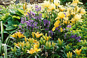 Iris 'CANARY BIRD' AND Yellow LILIES with POLEMONIUM CAERULEUM IN WYEVALE Garden, CHELSEA 97