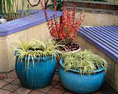 Türkise Kübel bepflanzt mit Carex 'Evergold' (Buntsegge), Acorus gramineus 'Ogon' (Goldkalmus), Berberis thunbergii 'Red Pillar' (Berberitze)