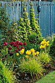 SPRING BORDER with Blue DECORATIVE FENCING, Golden HOP, Blue GLAZING Ball, Box PYRAMID, TULIPS 'Negrita', 'Queen of NIGHT' AND 'Golden MELODY'