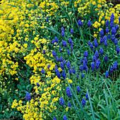 Muscari (Traubenhyacinthen) und gelbe Alyssum saxatile (Steinkraut)