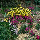 Linum arboreum (Lein) und Erinus alpinus (Alpenbalsam) im Steingarten