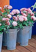 WINES of AUSTRALIA Garden, HAMPTON Court 96/ Designer Anthony LOCKWOOD. Pink ROSES IN GALVANISED BUCKETS